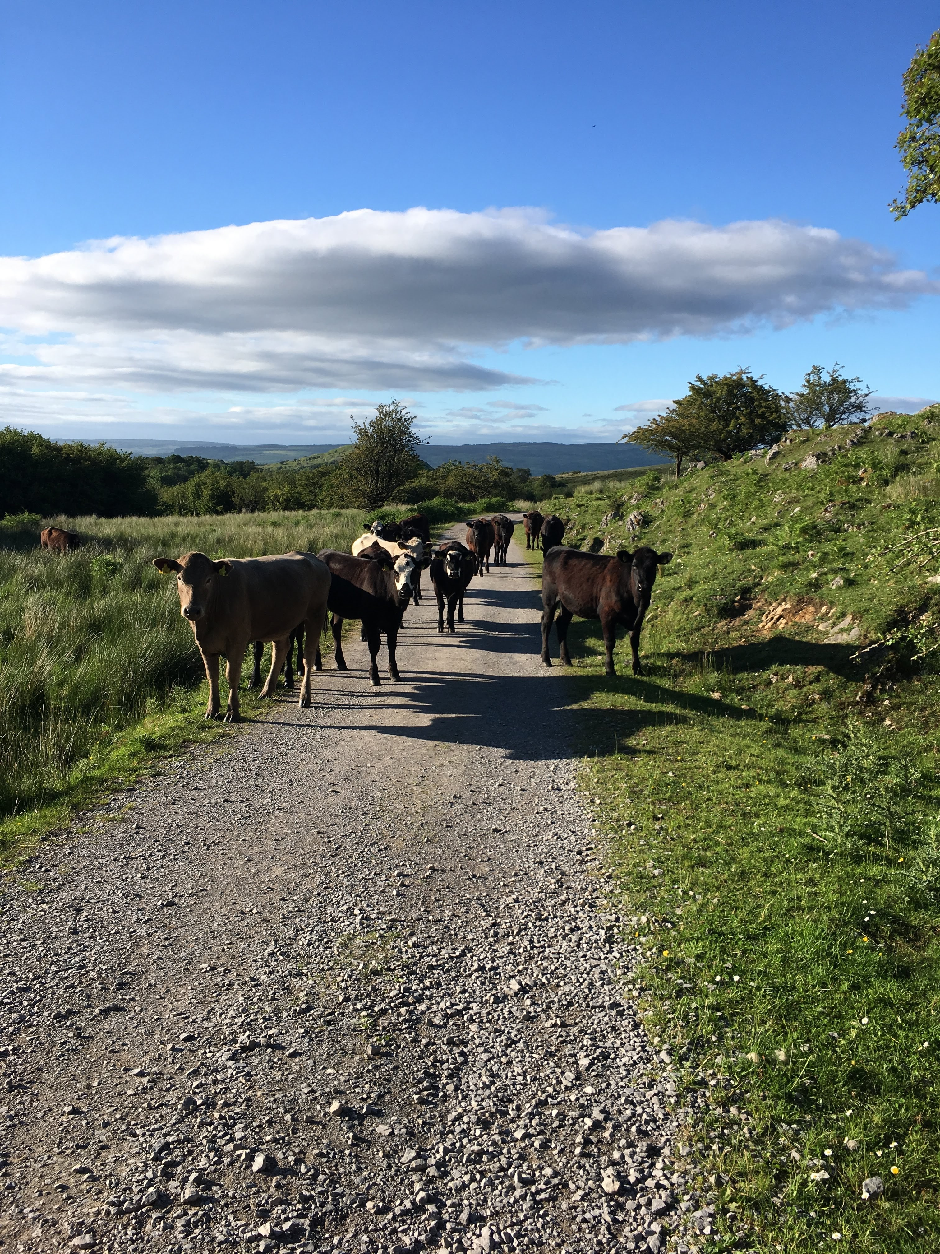 Cattle on Cuilcagh Mountain, County Fermanagh