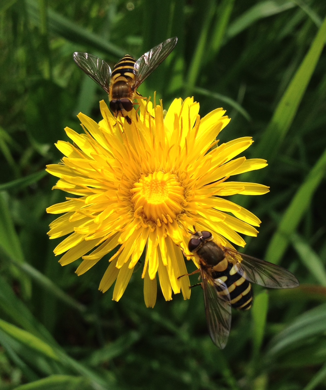image of hoverflies on a flower