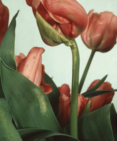 Stem lesions, necking and green petals on tulip