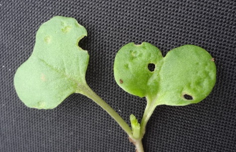 Shot-holing damage to OSR cotyledons caused by cabbage stem flea beetle