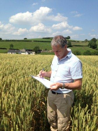 Michael Garvey, CAFRE Dairy Development Adviser, Armagh assesses a winter wheat crop for dry matter and grain texture to determine readiness to harvest.