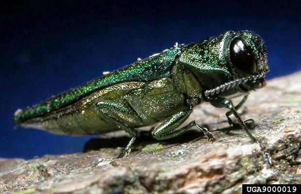 Emerald Ash Borer (Agrilus plannipennis)