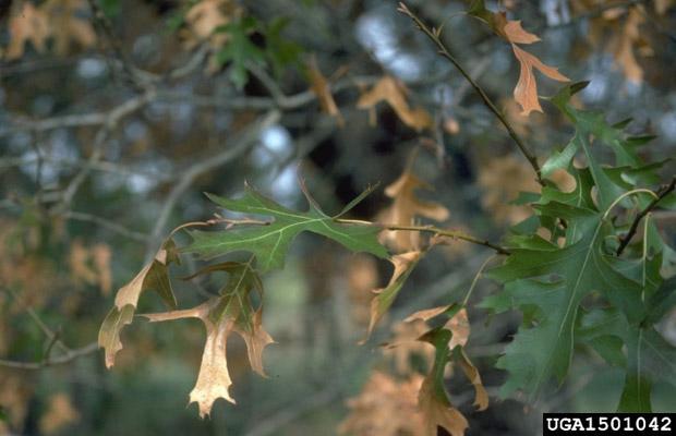 Oak Wilt (C. fagacearum)