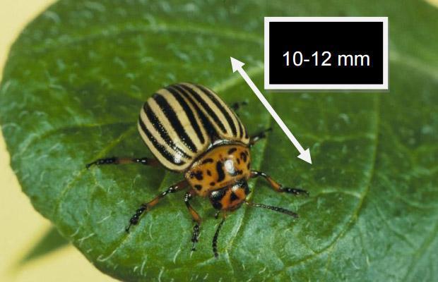 Adult Colorado beetle