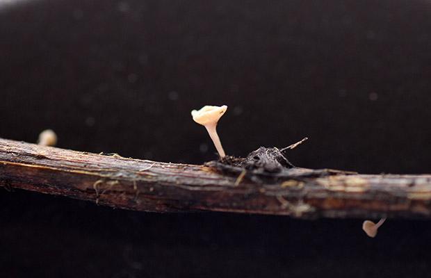 Ash Dieback (H. fraxineus)