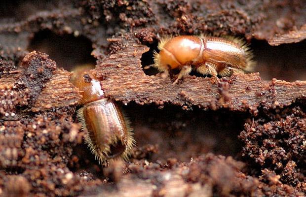 Bark Beetle (Ips typographus)
