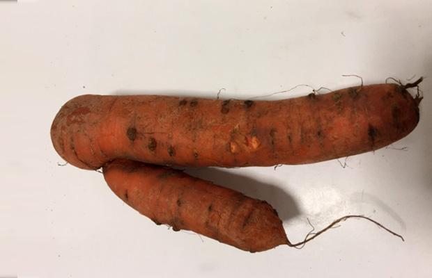 M. fallax causing forking and blemishes on carrot