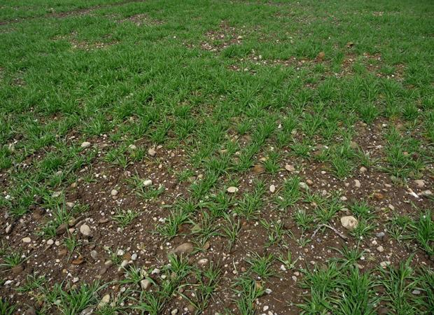 Root knot nematode (Meloidogyne) damage in oats