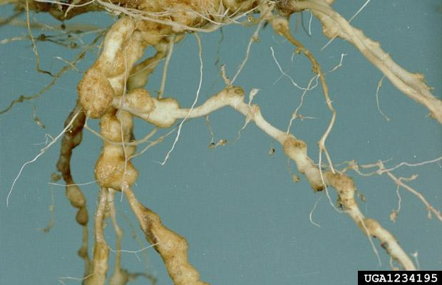 Swollen M. fallax root gall on perennial ryegrass: galls are nematode feeding sites and contain one or more feeding female nematodes.