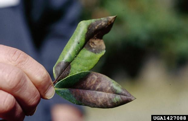 Ramorum leaf blight (P. ramorum)