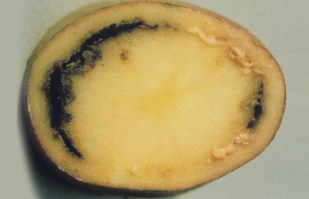 Potato Ring Rot