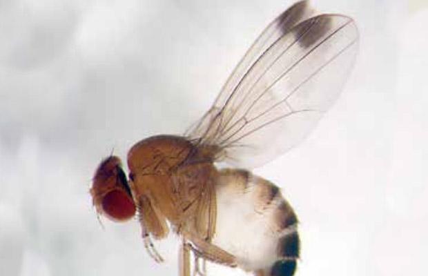 Male spotted wing drosophila is distinguished from other species by a distinct spot on each wing