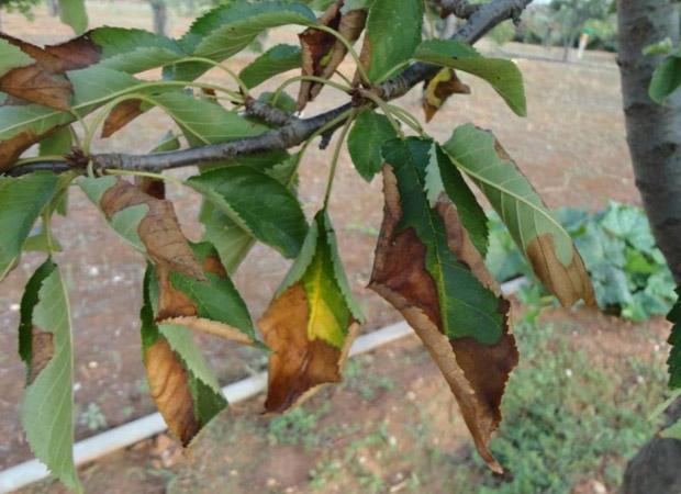 Xylella fastidiosa symptoms on Prunus (cherry). Courtesy: Donato Boscia. CNR - Institute for sustainable plant protection, UOS, Bari (IT) Laboratory, Angers (FR)