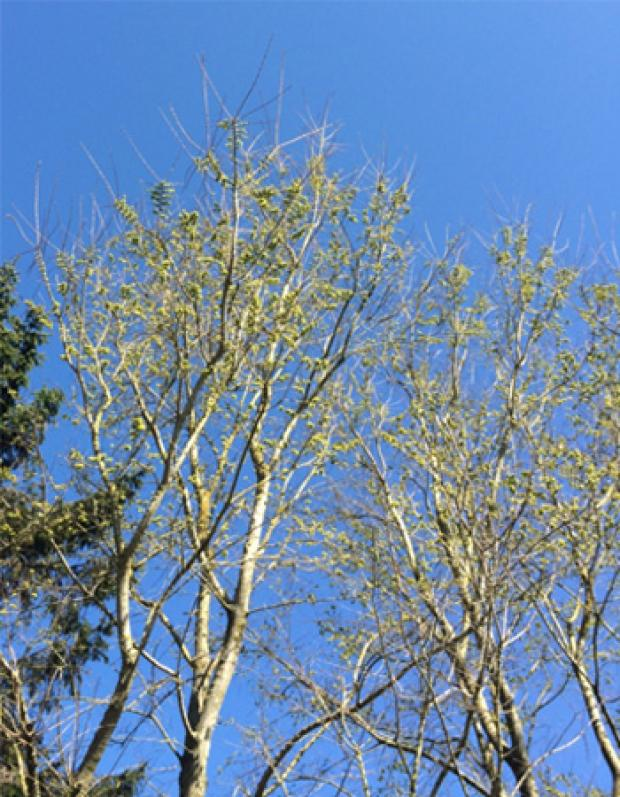 Ash trees showing dieback of foliage