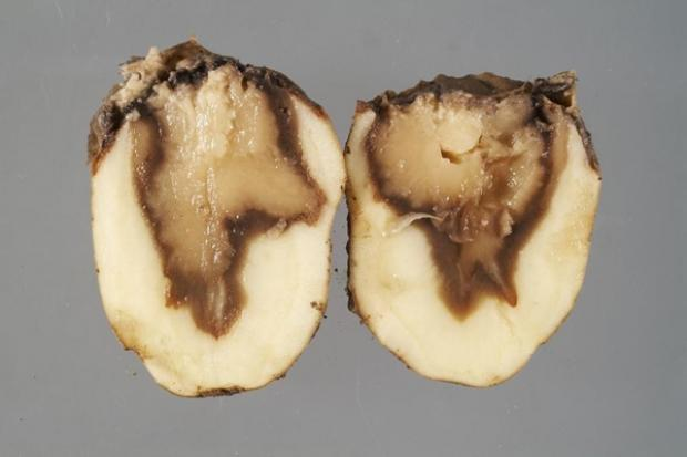 Dickeya solani infected potato tuber
