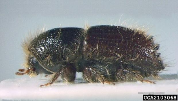 Eight-toothed spruce bar beetle adult