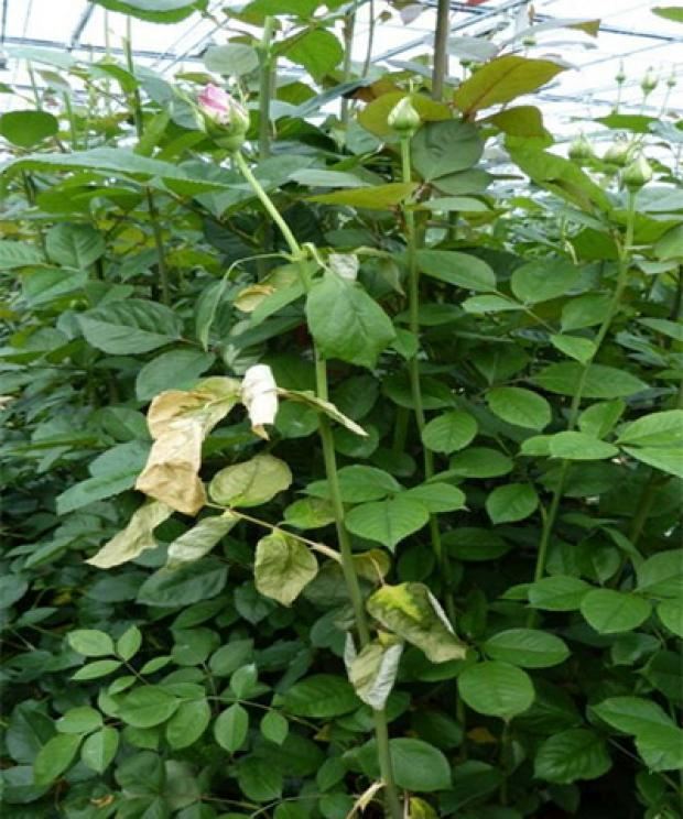Wilting symptoms on young shoots of Rosa plants in greenhouse. Photo courtesy of Netherlands Plant Protection Organisation