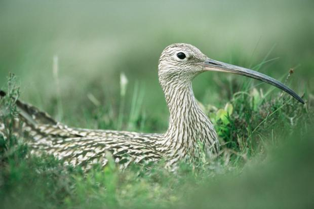 Photograph of a curlew