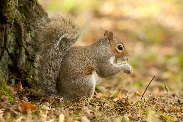 Grey squirrel on ground
