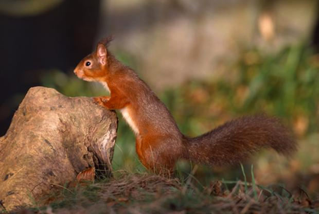 Red squirrel leaning on stone