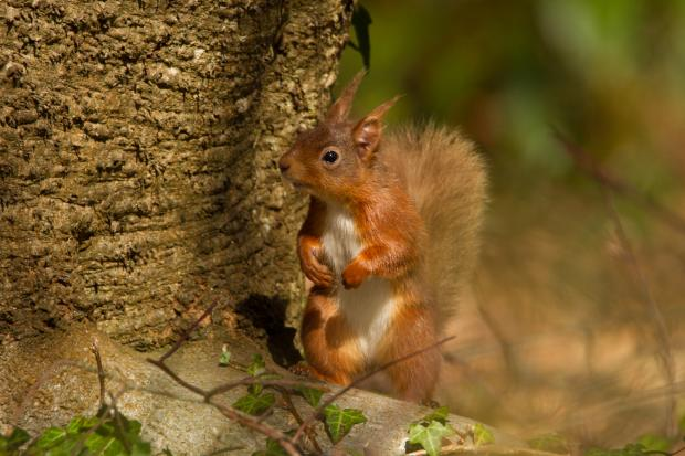 Red squirrel by tree