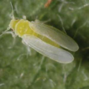 Adult tobacco whitefly (Bemisia tabaci). Photo courtesy of Fera.