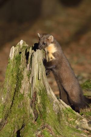 Image of pine marten by Laurie Campbell