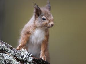 Red squirrel on log small banner