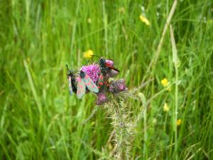 Moths in a meadow